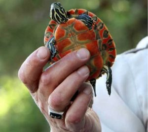 Northern Red Bellied Cooter ready to be released: